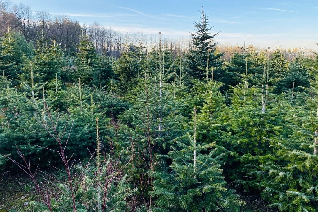 Peaceful grounds of a local Christmas tree farm.