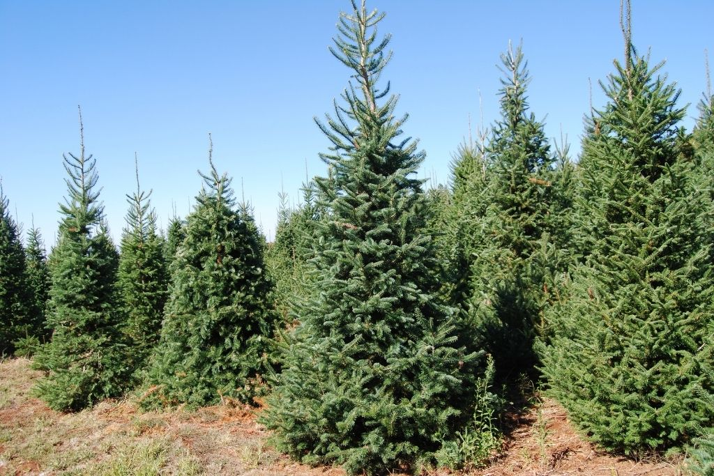 Christmas trees growing outside at one of the best Christmas tree famrs in New York state.