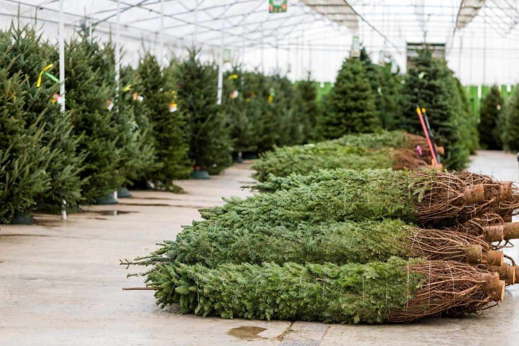 Pre-cut trees sitting inside a green house at a local Christmas tree farm.