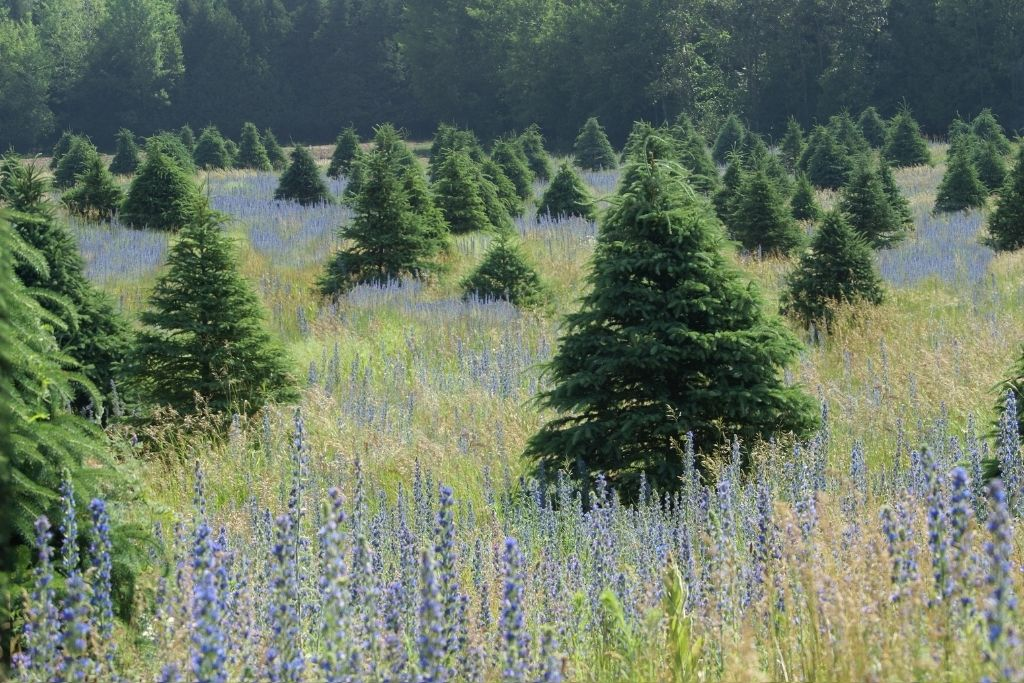 Evergreen trees in a field surrounded by wild flowers.