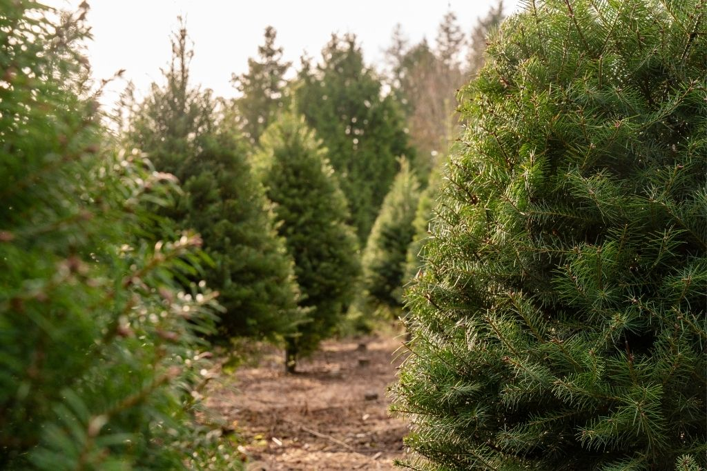 Pine trees growing outside on a tree farm in new York.