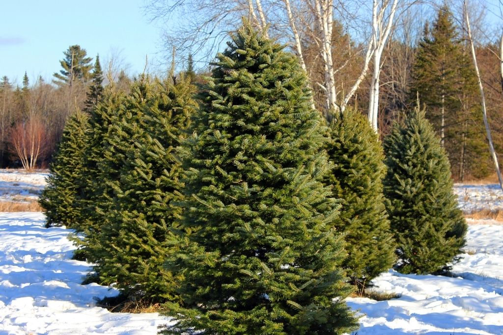 Evergreen trees on a Christmas tree farm with snow on the ground.