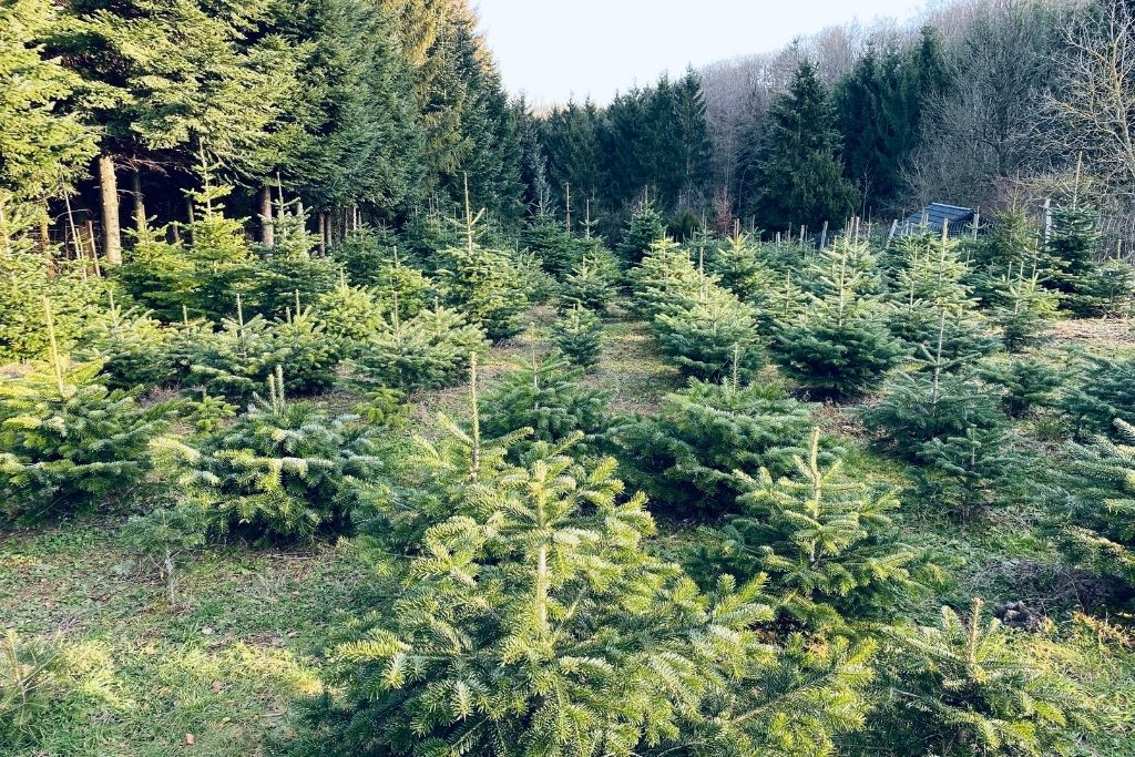 Young trees growing in a field on a Christmas tree farm.