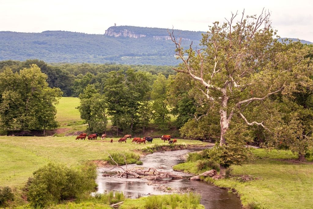Cows grazing on a local farm in New Paltz, New York.