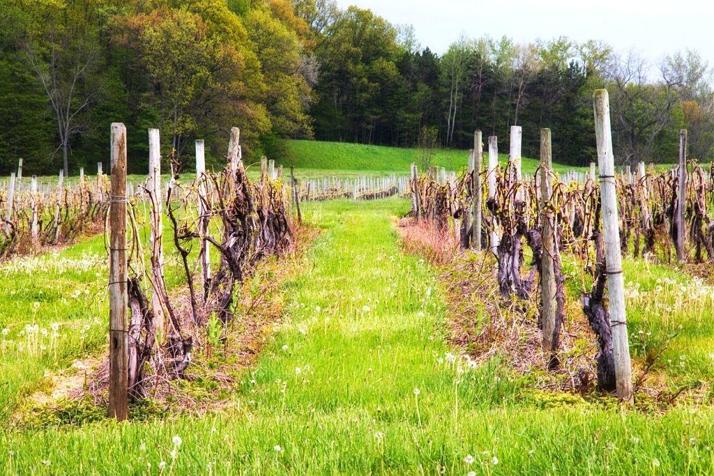 Rows of grapes at a vineyard in New York.