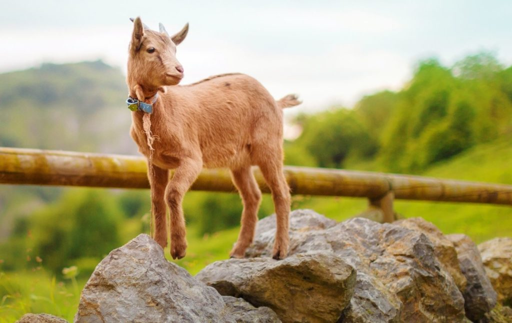 Brown baby goat standing on a rock with a blue collar.